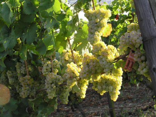 Грозди спелого винограда гибридной формы Дружба