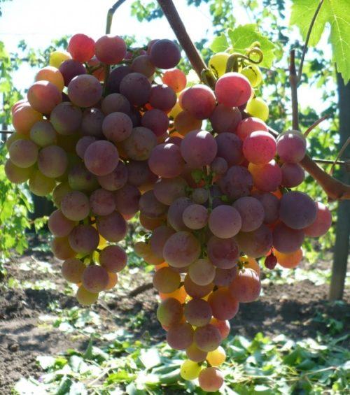 Две крупные грозди винограда гибридного сорта Джони с ягодой в начале окрашивания
