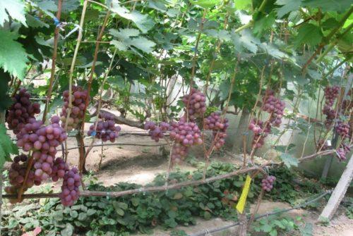 Виноградная лоза сорта Джони и кисти созревающих темно-розовых ягод