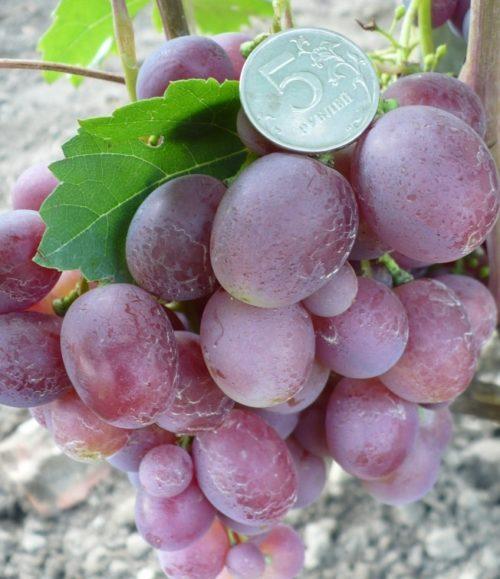Гроздь столового винограда гибридного сорта Джони с плодами темно-розового цвета
