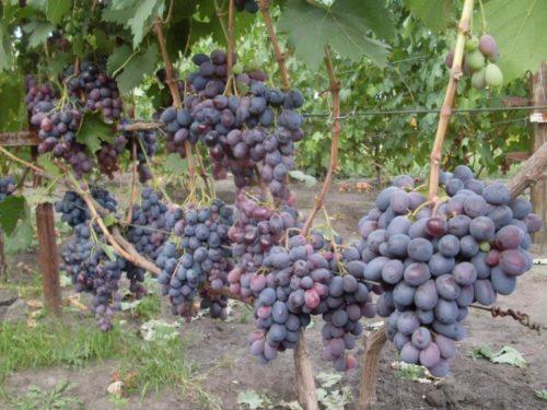 Куст винограда гибридного сорта Фуршетный с нормированной нагрузкой на лозу