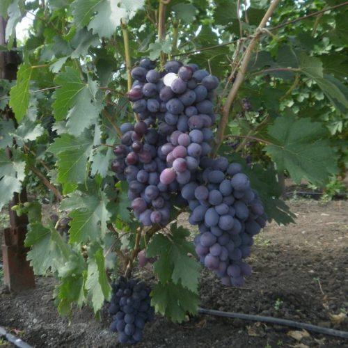 Виноградная лоза сорта Фуршетный и крупные кисти с плодами насыщенно синего цвета
