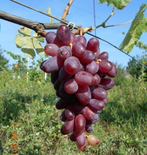 Гроздь винограда столового сорта Эталон с ягодами красно-фиолетового оттенка