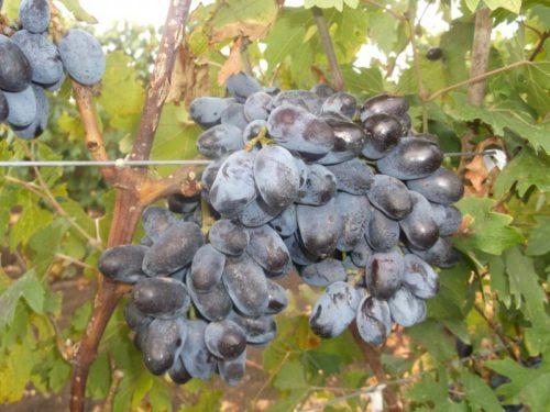 Виноградные кисти гибридного сорта Эталон на проволоке шпалеры