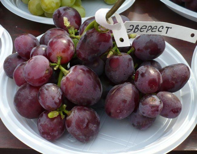 Гроздь винограда сорта Эверест с биркой на белой одноразовой тарелке