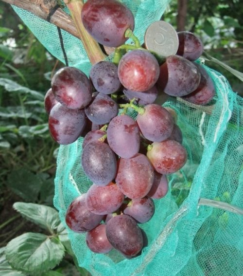 Гроздь гибридного винограда столового сорта Эверест