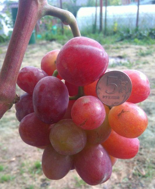 Первая сигнальная кисточка столового винограда сорта Эверест и монетка среди ягод