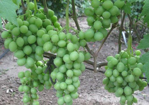 Грозди столового винограда гибридной формы Эверест с плодами зеленого цвета