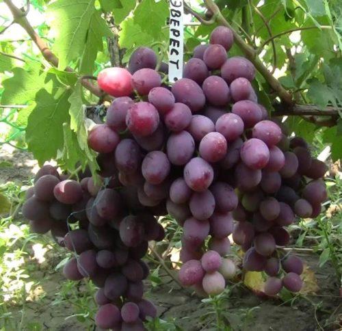 Кисти спелого винограда сорта Эверест с ягодами бордово-фиолетового окраса