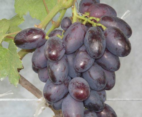 Ягоды винограда темно-фиолетового окраса сорта Каталония