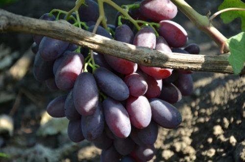 Виноградная гроздь столового сорта Каталония за одеревеневшей веткой