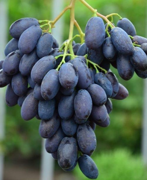 Крылатая гроздь винограда столового сорта Каталония с фиолетово-синими плодами