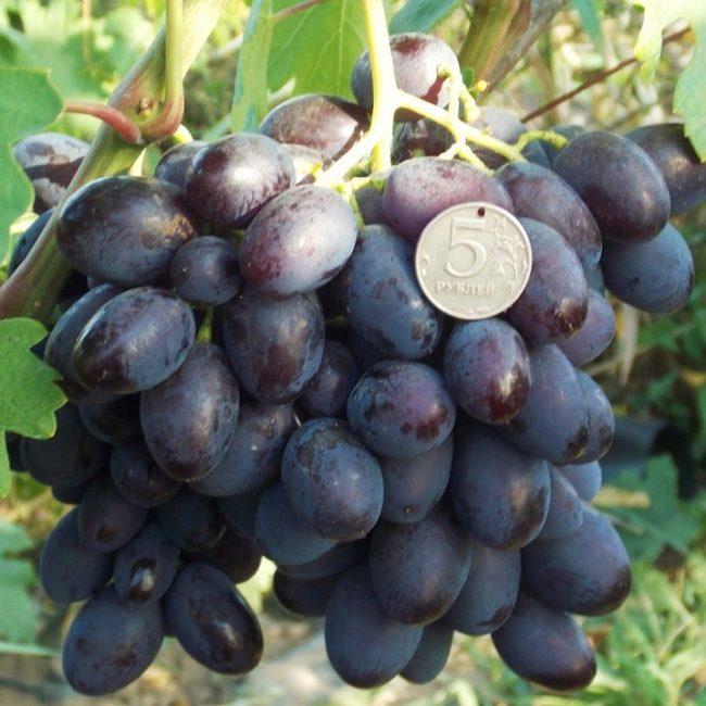 Гроздь темно-фиолетовых ягод винограда столового сорта Каталония