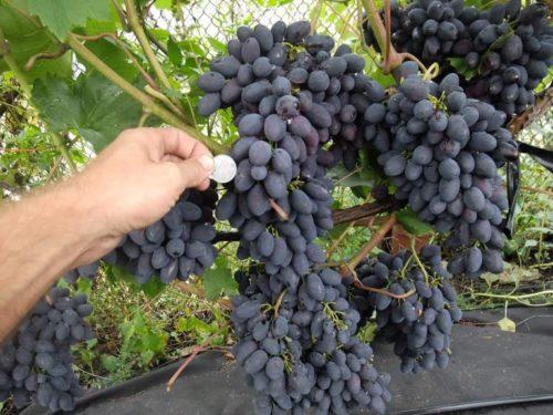 Кисти столового винограда сорта Кодрянка с ягодами темно-фиолетового окраса