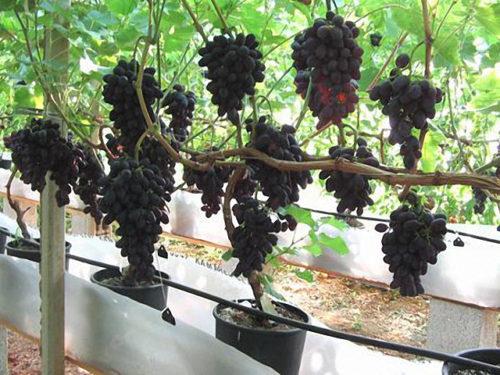 Виноградная лоза гибридной формы Кодрянка и пластиковые контейнеры
