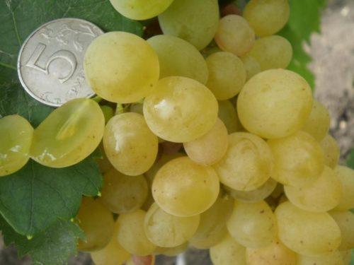 Ягода винограда гибридного сорта Коктейль крупным планом