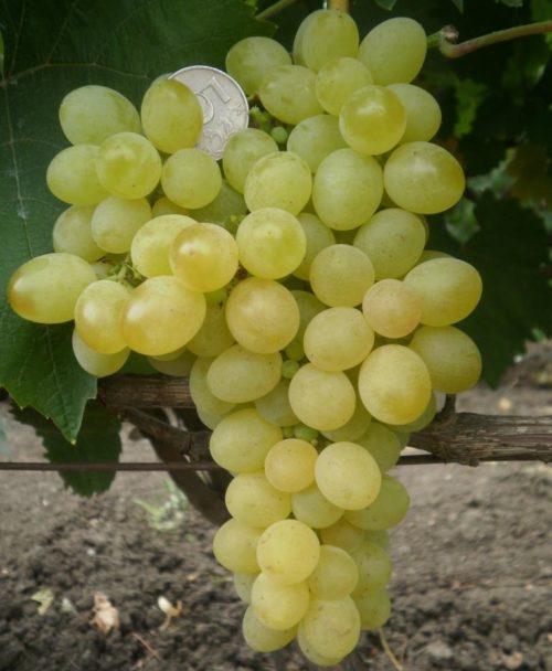 Крупная гроздь винограда сорта Коктейль с плодами янтарного цвета