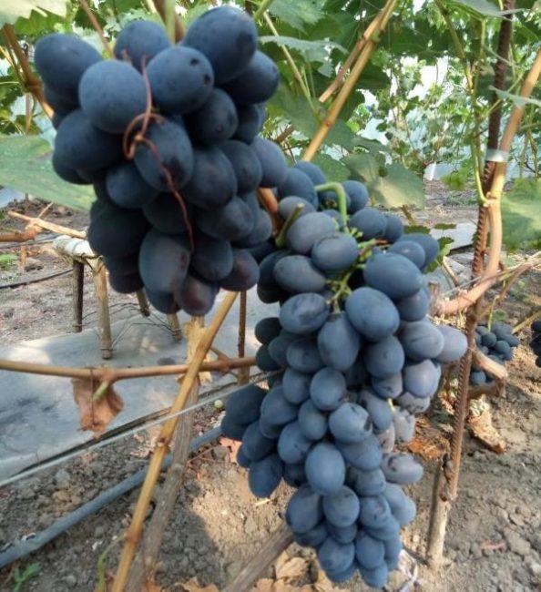 Две средние по размеру кисти гибридного винограда сорта Краса Балок