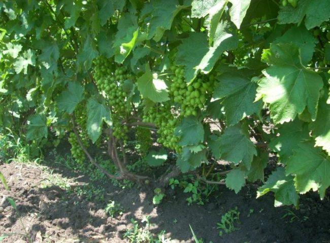 Взрослый куст столового винограда сорта Краса Балок с гроздьями зеленых ягод
