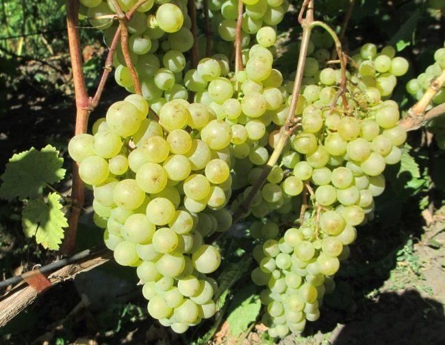 Крупные конусовидные грозди винограда на одеревеневших ветках