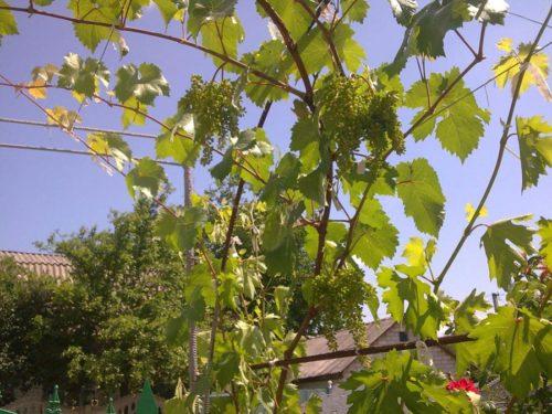 Длинные ветки гибридного винограда сорта Красень на арке