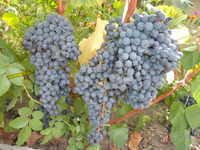 Кисти спелого винограда сорта Красень с ягодами темно-синего окраса