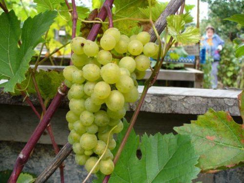 Цилиндрическая гроздь винограда гибридного сорта Кристалл раннего срока созревания
