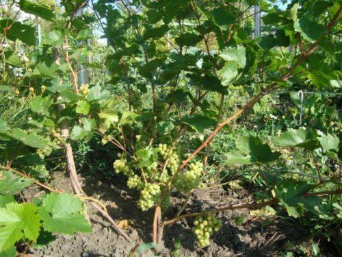Куст винограда технического сорта Кристалл с гроздьями созревающих плодов