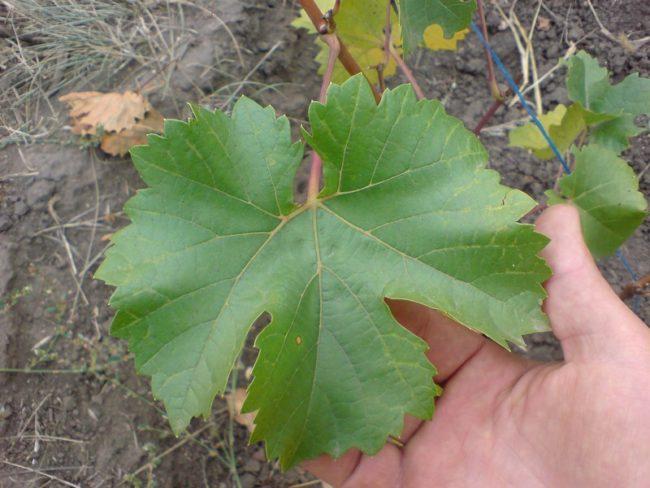 Темно-зеленый лист винограда гибридной формы Кристалл в руке садовода