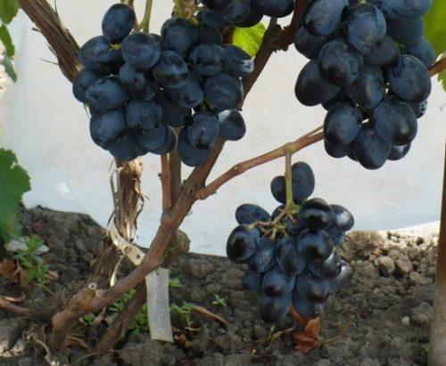 Грозди винограда гибридной формы Ласточка с плодами темно-синего окраса