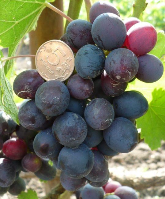 Кисть винограда сорта Ласточка крупным планом и монетка среди ягод