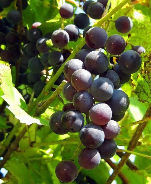 Кисть винограда гибридного сорта Ласточка от селекционера Павловского