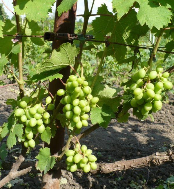Грозди столового винограда гибридной формы Ласточка в период роста ягод