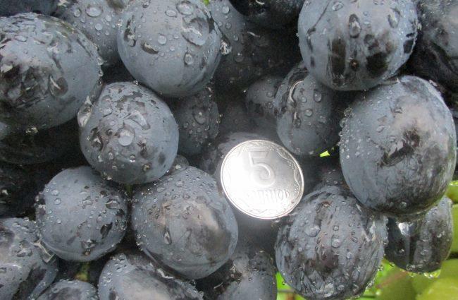 Темно-синие ягоды гибридного винограда сорта Ласточка и монетка