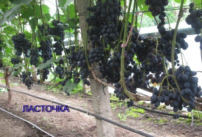Куст селекционного винограда на шпалере с гроздьями темно-синих плодов