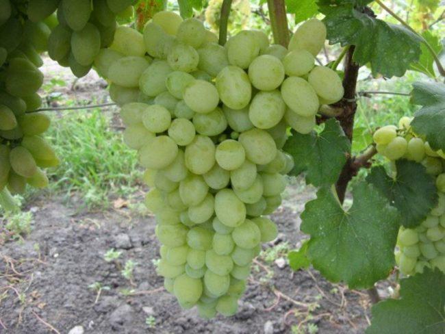 Крупная гроздь гибридного винограда столового сорта лора с овальными плодами
