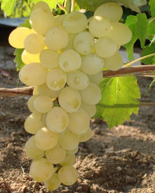 Кисть винограда гибридной формы Лора с ягодами желто-белого окраса