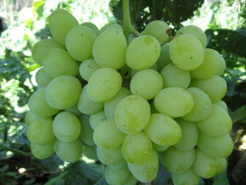 Плоды столового винограда Лора крупным планом