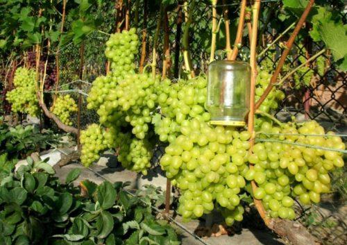 Виноградная лоза гибридной культуры лора под нормированной нагрузкой