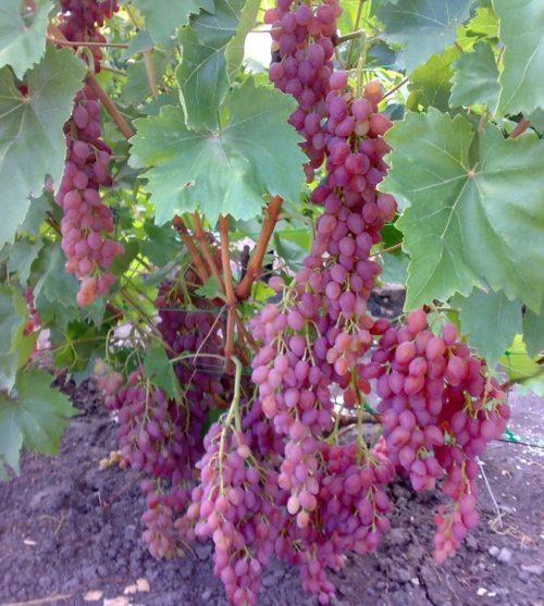 Куст винограда столового сорта Лучистый и грозди сиренево-красных ягод