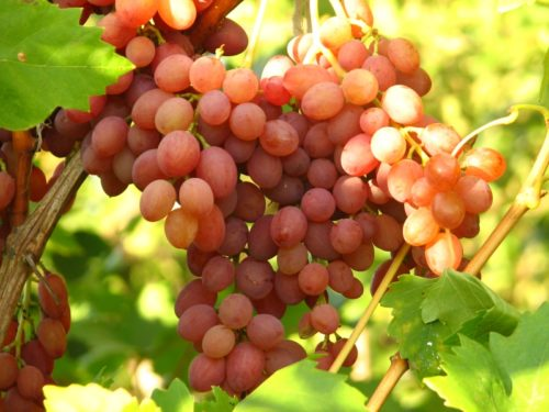 Грозди спелого винограда гибридного сорта Лучистый с сиренево-розовыми плодами