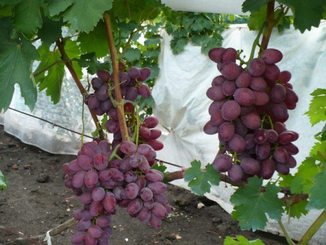Кисти созревающего винограда сорта Малиновый Супер селекции Капелюшного