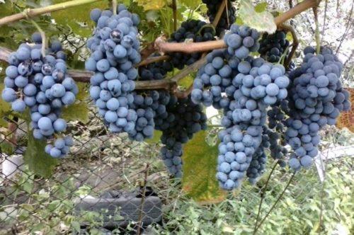 Ветви винограда технического сорта Мерло с гроздьями темно-синих плодов