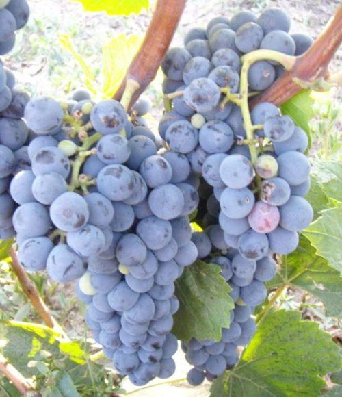 Грозди винограда технического сорта Мерло с ягодами темно-синего цвета
