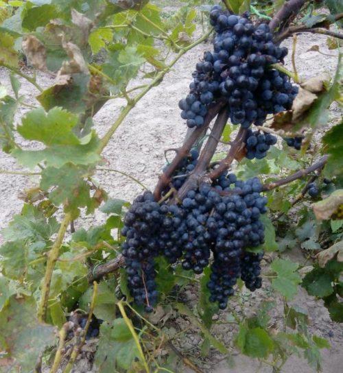 Кисти гибридного винограда Мерло в стадии технической спелости