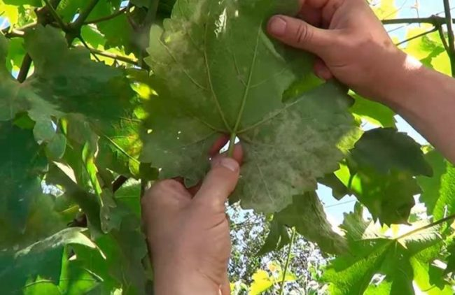 Человек держит в руках лист винограда, заболевший милдью