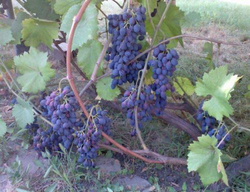 Лоза винограда столового сорта Молдова с гроздьями созревающих ягод
