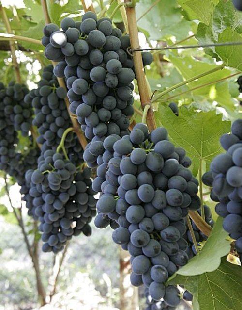 Кисти столового винограда сорта Молдова темно-фиолетового оттенка с сизым налетом