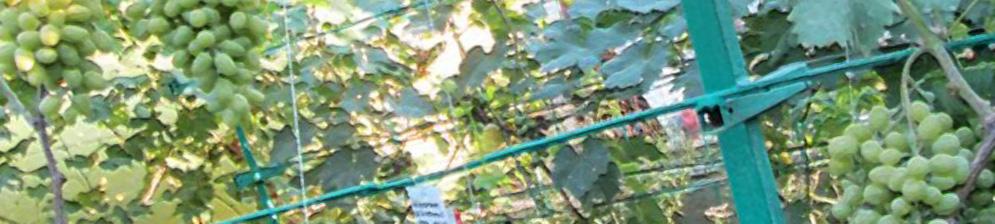 Плоды на кусте винограда на Донбассе