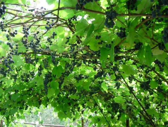 Виноградная лоза на арочной шпалере и небольшие кисти созревающих ягод